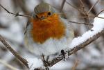Зарянка — птичка Божья, или Сколько всё же человек скушал Робин Барабек